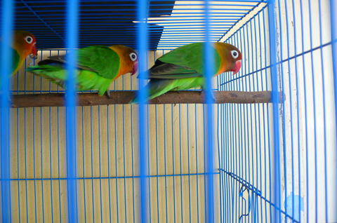 2 calon indukan love bird hijau