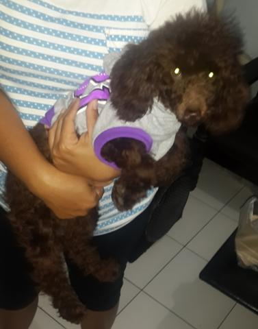 "Anjing ""Toy Poodle"" Lucu"