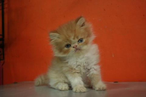 Kucing Persia Peaknose Extreme Bloodland ped