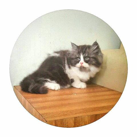 wts : kucing persia (playful and adorable)