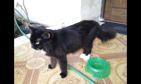 Kucing Persia Medium Indukan&anakan