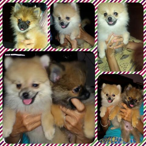 SALE POMERANIAN MINI LUCU PUPPY SMART