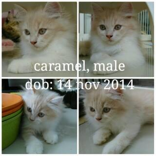 Kitten available to adopt: Caramel