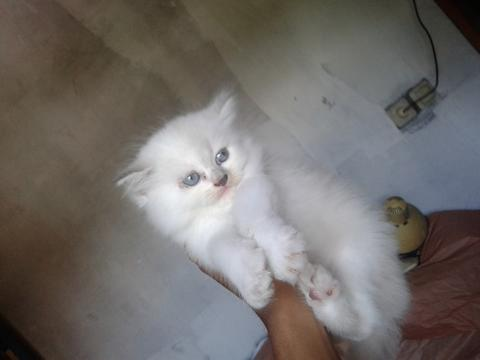 Jual 2 Kitten Persia White Red Point dan Blue Point (Betina)