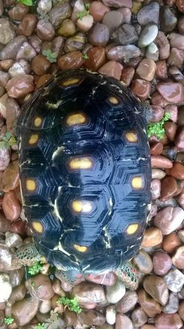 Cherry Head Tortoise Marble 16cm