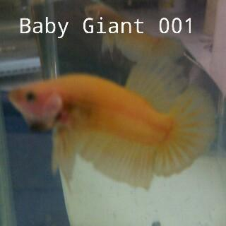 Cupang giant Yellow