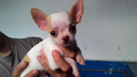 Puppies Chihuahua male - Very cute..!