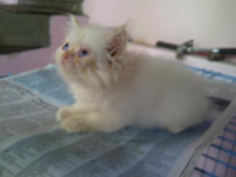 Kucing Persia Kitten Red Point
