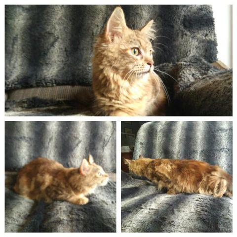 Kitten mainecoon nonped anakan PED CFA