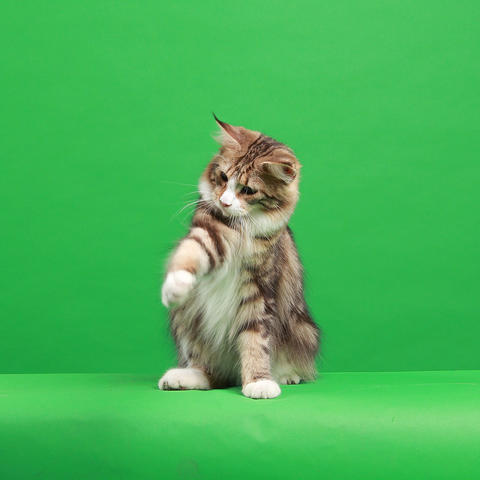 For adopt female adult Mainecoon