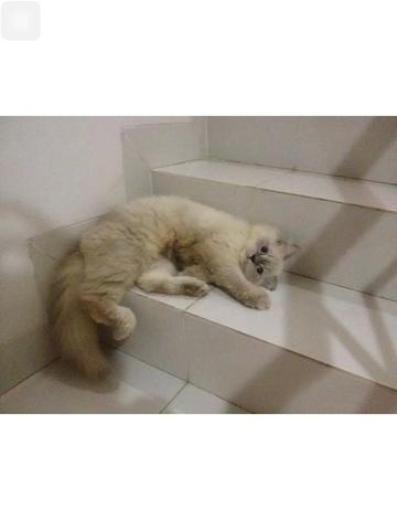 kucing persia mix maine coon