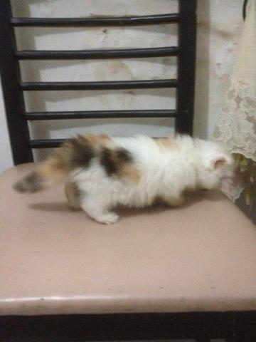 Kucing Persia Flatnose Kitten