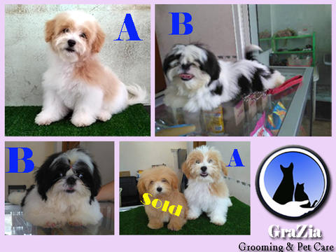 Puppies Poodle Non stambum & Puppies Shihtzu Stambum Ready