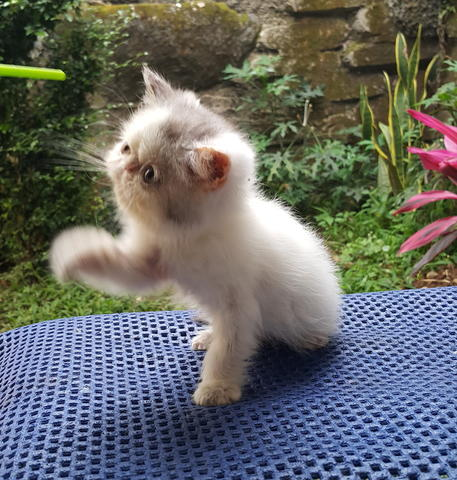 Kitten Persia Shorthair Non Pedigree