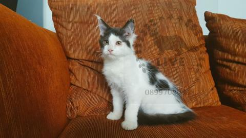maine coon kitten black & white betina mc kucing mainecoon murni
