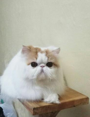 kucing persian Ped