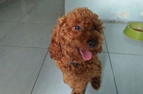 poodle toy red jantan