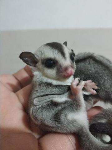 Sugar Glider White Face & Moza Ring Tail Jantan
