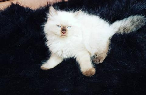 kitten ragdoll seal point