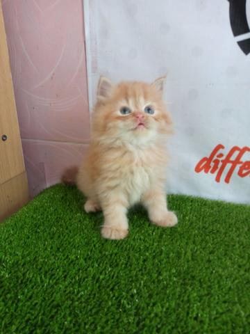 Kucing Red Tubby