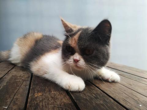 Calico Persian Exotic Shorthair (Kucing Bulu Pendek)
