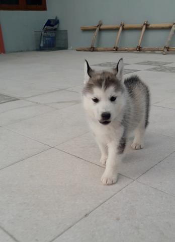 Open book siberian husky puppy anak import