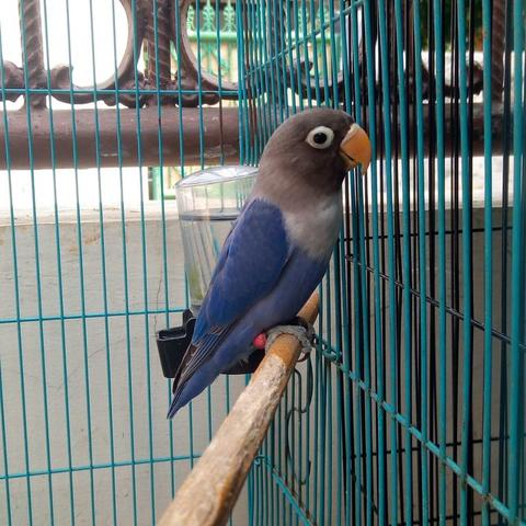 Burung Love Bird Violet