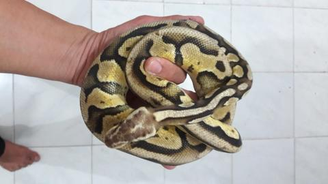 Ball Phyton Super Pastel Yellow Belly