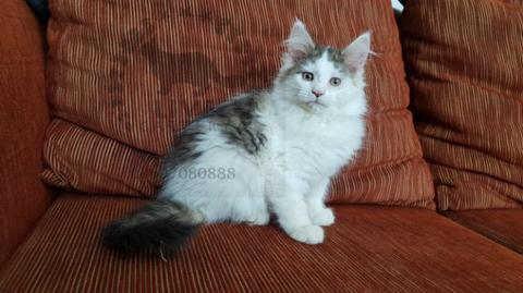 pure female maine coon mainecoon mc kitten CFA brown tabby & white bandung PED