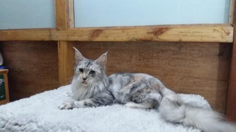 Terjual Kucing Maine Coon Ped Dan Nonped Mc Mainecoon Kaskus