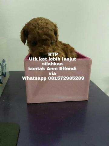 Jual Red Toy Poodle