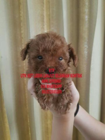 Jual Red Toy Poodle merah Pekat