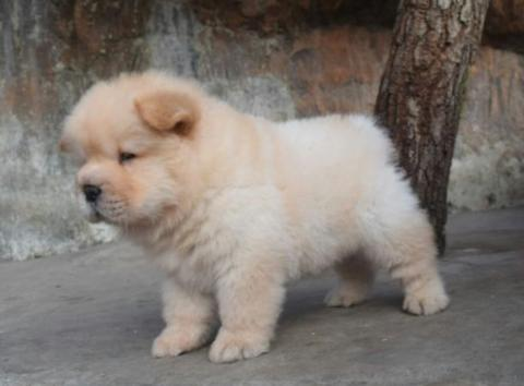 Terjual Anjing Chow Chow Puppy Good Quality Kaskus