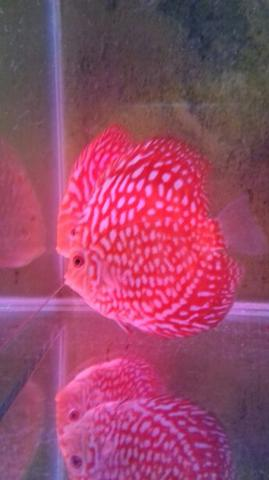 ikan discus size 3,5 in