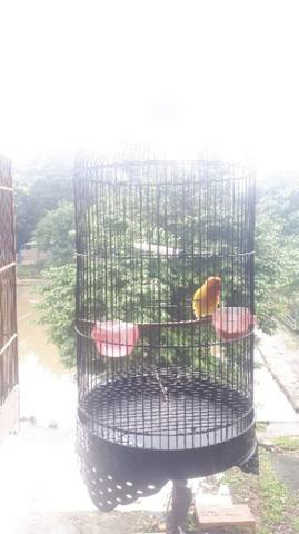 Burung Love Bird Paskun
