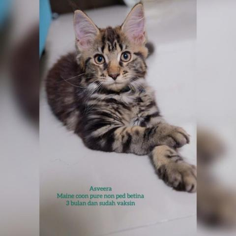 KITTEN MAINE COON PURE NON PED