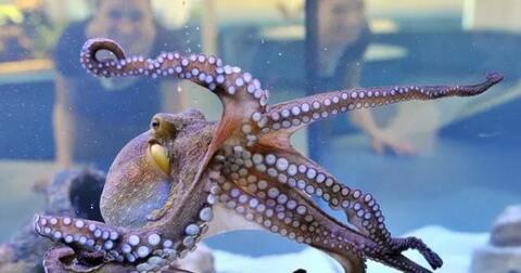 gurita-hewan-aneh-dan-fakta-uniknya