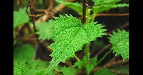 jancukan-nama-tumbuhan-yang-wajib-dihindari-pendaki-gunung-argopuro