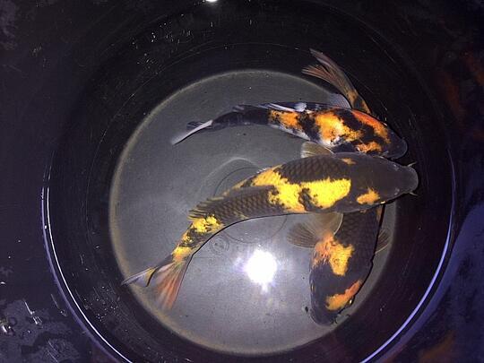 Tempat Jual Ikan Koi Di Bogor - Seputar Tempat