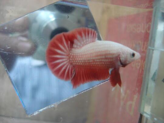 Terjual Ikan Cupang Giant Pk Orange Dragon Pk Big Ear Hm Big Ear Murah Gan Kaskus