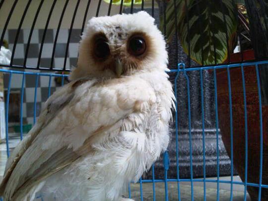 Download 76  Gambar Burung Hantu Celepuk Putih HD Terbaik Gratis