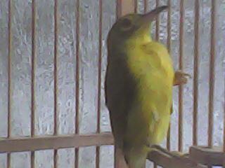 Terjual Kolibri Kelapa Anakan Kaskus