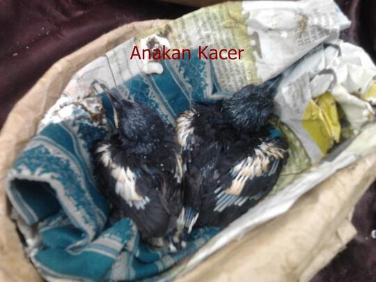 Terjual Wtb Anak Burung Kacer Kaskus