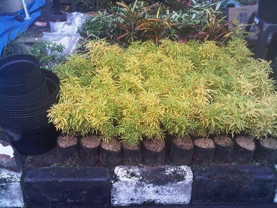 Terjual Jual Tanaman Hias Brokoli Kuning Kaskus