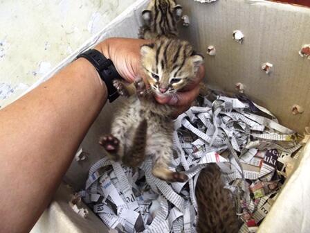 Anak kucing belang dan burung hantu clepuk anak