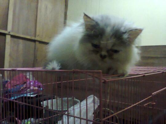 Terjual Kucing Betina Flatnose Calico Anakan Peaknose Tiga Warna Lucu Murmer Kaskus
