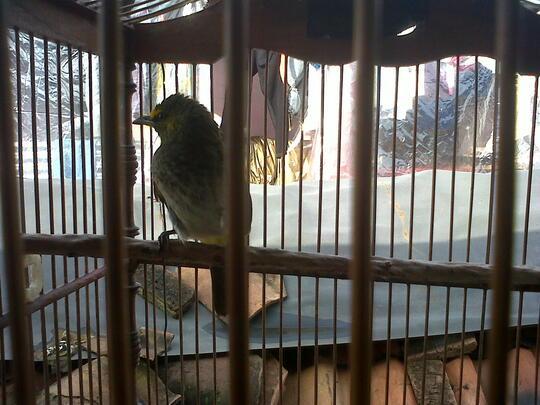 Terjual Burung Cucak Wilis Dan Kutilang Emas Kaskus