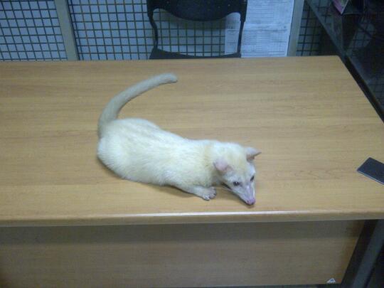 Terjual Musang Albino Rare Item Kaskus