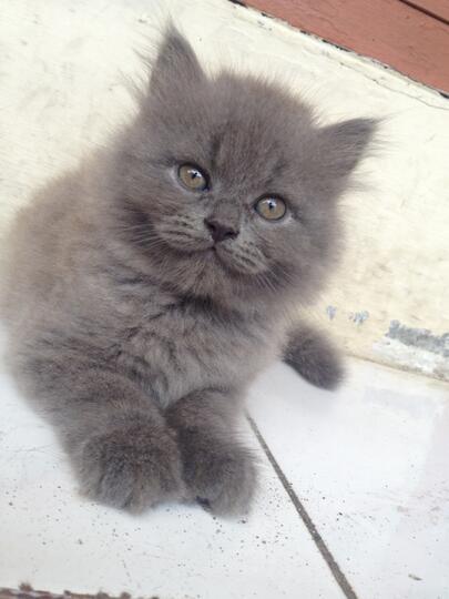 Terjual Jual Anak Kucing Persia Umur 3 Bulan Kaskus