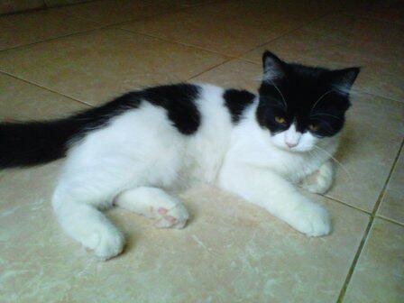 Gambar Kucing Persia Himalaya Ciri Harga Merawatnya Foto